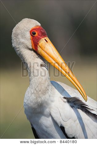 The Yellow-billed Stork.