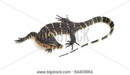 Asian Water Monitor Lizard (varanus Salvator) On White Background.