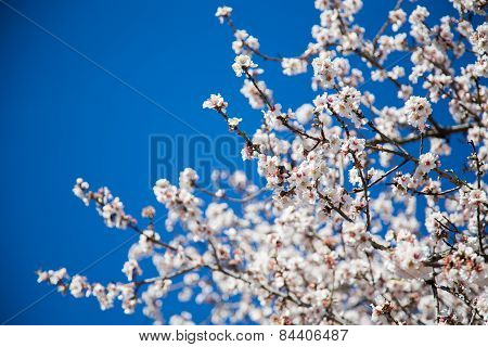 beautiful almond blossoms