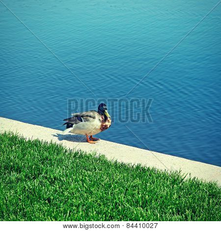 Duck Near The Lake