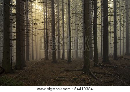 Mysterious pine tree forest with fog