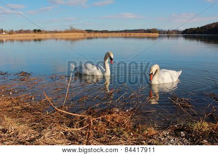 Swan Couple At Lake Seeham, Bavaria