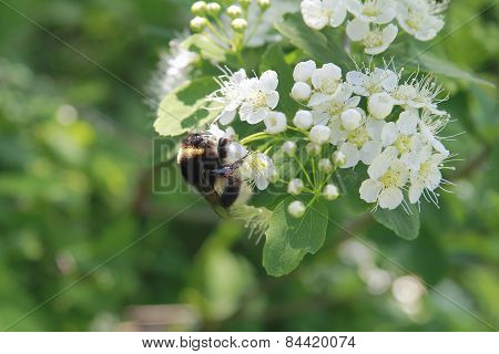 Shaggy Bumblebee Collects Honey From The Flowers Of The Apple Tree