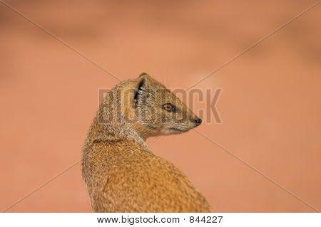 Yellow Mongoose 3