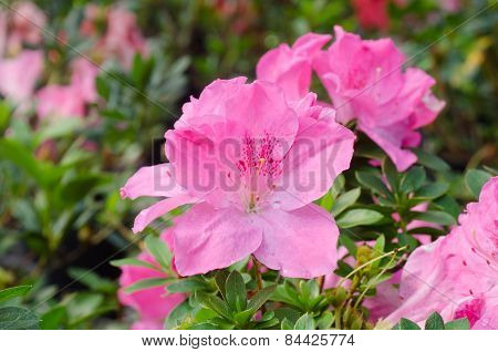 Azalea Blooming On Tree