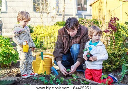 Two Little Boys And Father Planting Seedlings In Vegetable Garden