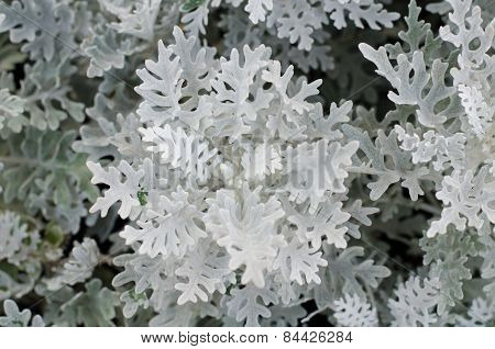 Top View Of Dusty Miller Plant