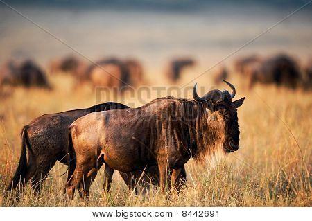 Wildebeest on a sunset.