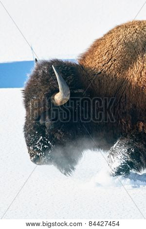 Bison Trudging Through the Snow