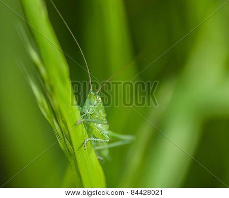 Small grasshopper