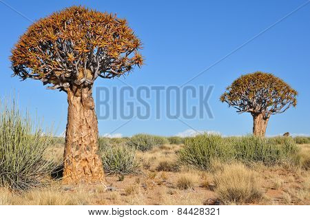 Quiver Tree in southern Namibia