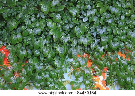 Jiaogulan Lat. Gynostemma Pentphyllum On Colored Background