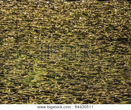 Surface of the pond covered with fallen leaves and weeds in autumn