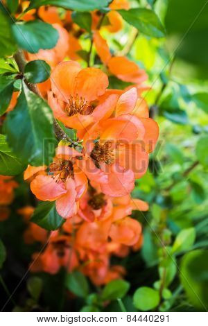 Flowers Of Japanese Quince On A Background Of Green Foliage.