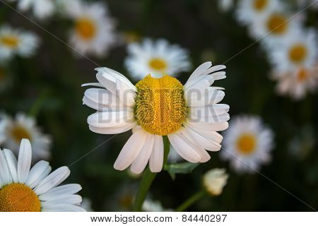 Deformed Chamomile Flower On A Background Of Other Daisies.