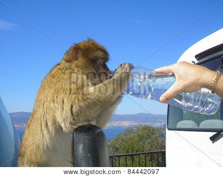 Barbary Ape Drinking From Bottle