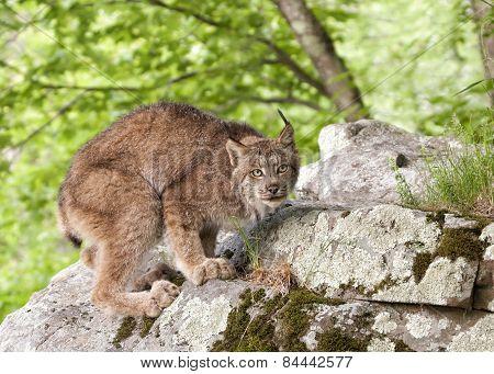 Crouching Canadian Lynx