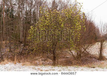 leafless apple tree
