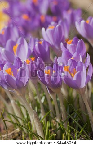 The Crocus Flowers (vertically)