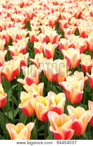 Pink and white spring tulips