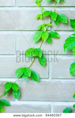 The Green Creeper Plant on the Wall