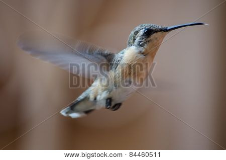 Female Humming Bird