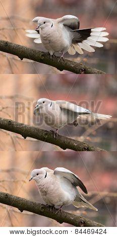 Dove (streptopelia decaocto)-Bird gymnastics