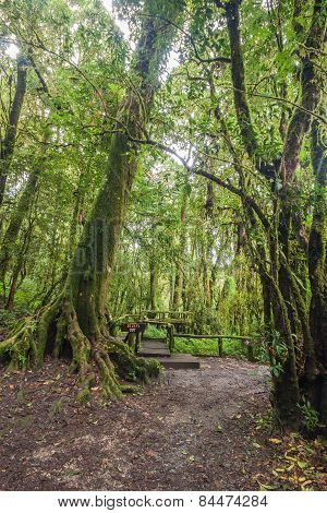Big Tree In Rian Forrest.