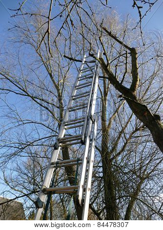 High Ladder At A Tree For Tree Trimming