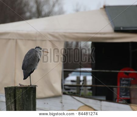 Gray Heron On Wooden Pole
