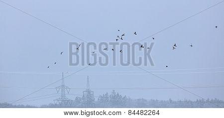 Flock Of Fieldfares