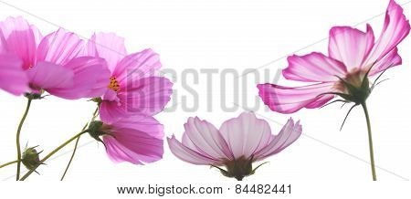 Pink Cosmos Flowers Over White Background