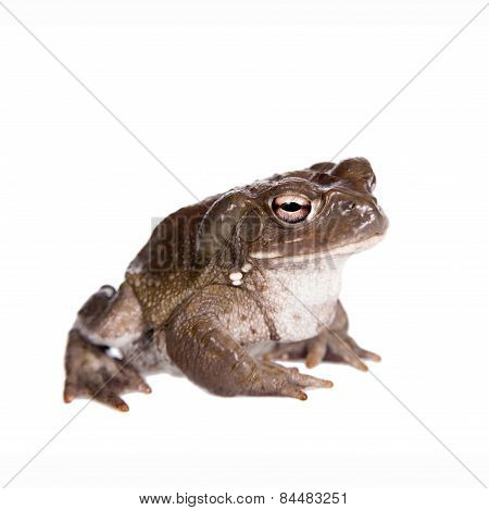 The Colorado River Or Sonoran Desert Toad On White
