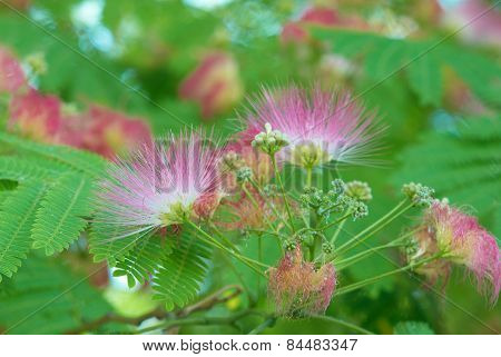 Flowers Of Acacia