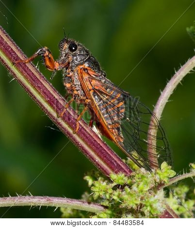 Cicada, green, background