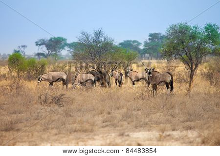 Group of Oryx gazelle in Kalahari Desert, Botswana, south Africa