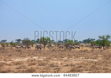 Herd of Oryx gazelle, Botswana, south Africa