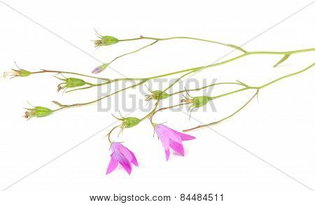 Harebell (Campanula Rotundifolia) On White Background