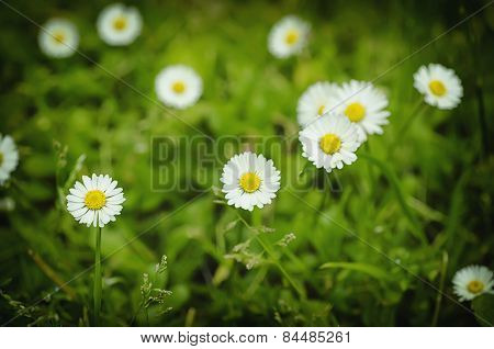 Spring marguerite flowers