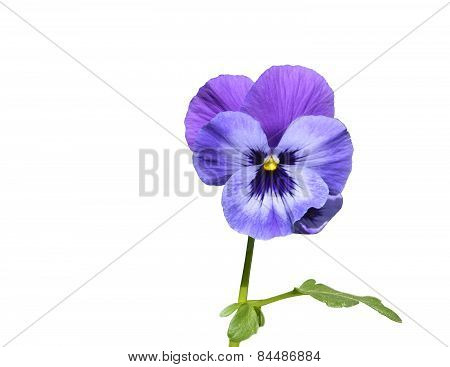 Purple pansy flower with leaf closeup