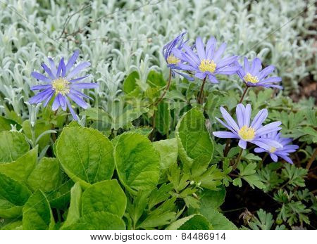 Purple rocky daisy flower garden composition