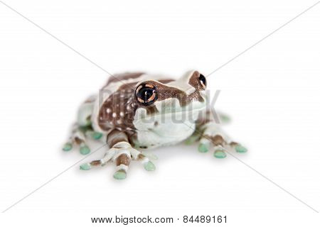 Amazon Milk Frog Isolated On White