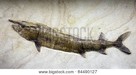 Mesozoic Age Fossil Fish Trapped In The Rock