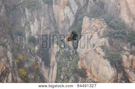 Griffon Vulture Flying Over A Cliffs Area. Spain