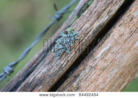 Foliose Lichen On Wood