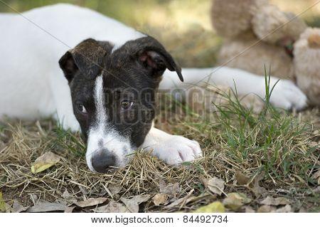 Sad Puppy Dog Eyes Lying Down
