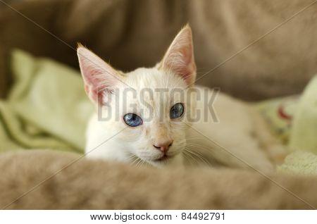 Kitten Curious Blue Eyes Looking