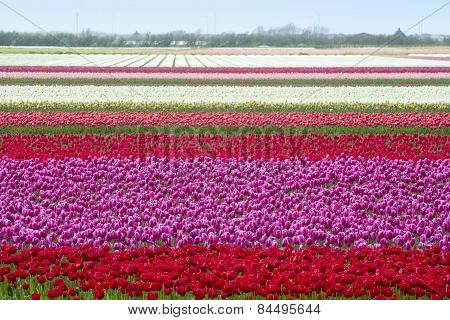 Tulip fields in Holland