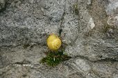 stock photo of snail-shell  - Shell yellow snails on grey stone wall - JPG