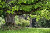 picture of maple tree  - Massive maple tree in the park - JPG